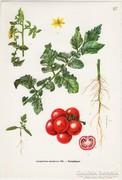 Paradicsom, színes nyomat 1961, növény, zöldség, gyümölcs