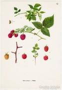Málna, színes nyomat 1961, növény, gyümölcs