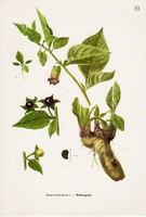 Nadragulya, színes nyomat 1961, növény, levél, virág, gyógynövény