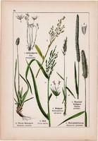 Nyúlfarkfű, ázsiai rizs, komócsin és franciaperje, abrakzab, litográfia 1895, 17 x 25 cm, növény