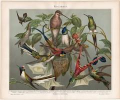 Kolibrik, litográfia 1888, színes nyomat, eredeti, német, lexikon melléklet, kolibri, madár, régi