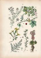 Piros földitök, kövér porcsin, kövirózsa, porcikafű litográfia 1884, német, eredeti, növény, virág