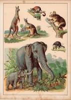 Elefánt, kenguru, oposszum, numbat, litográfia 1880, eredeti, 24 x 34 cm, nagy méret, állat