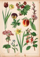 Őszibarack, muskátli, nefelejcs, nárcisz, litográfia 1880, eredeti, 24 x 34 cm, nagy méret, növény
