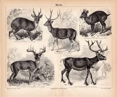 Szarvas, egyszínű nyomat 1888, német nyelvű, eredeti, pettyes szarvas, rénszarvas, muntyákszarvas