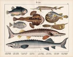Kecsege, tokhal, viza, nyúlhal, horgászhal, litográfia 1920, eredeti, 32 x 41 cm, nagy méret, hal