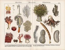 Korallok, medúzák, szivacsok, litográfia 1890, eredeti, 32 x 41 cm, nagy méret, német, latin, korall