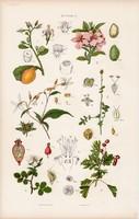 Galagonya, indiánrózsa és akácia, korallfa, vasfa, litográfia 1885, eredeti, 26 x 42 cm, növény