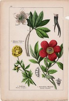 Zergeboglár, hunyor, bazsarózsa és gólyahír, hérics, boglárka, litográfia 1895, 17 x 25 cm, virág