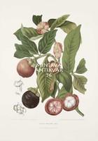 Vintage antik botanikai illusztráció - Mangosztán, Garcinia. Kitűnő minőségű reprint nyomat