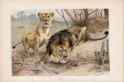 Oroszlán, litográfia 1894, színes nyomat, eredeti, német, Brehm, állat, ragadozó, Afrika, Kis-Ázsia