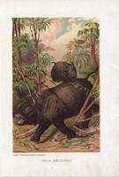 Indiai rinocérosz, litográfia 1907, színes nyomat, eredeti, magyar, Brehm, állat, orrszarvú, Ázsia