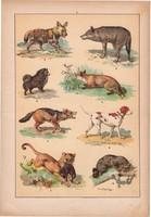 Állatok (5), litográfia 1902, eredeti, kis méret, magyar, állat, kutya, farkas, róka, puma, sakál
