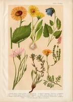 Magyar növények 66, litográfia 1903, színes nyomat, virág, zergevirág, telekia, pozdor, aggófű (3)