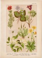 Magyar növények 36, litográfia 1903, színes nyomat, virág, boglárka, hérics, kökörcsin, bércse (3)