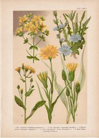 Magyar növények 49, litográfia 1903, színes nyomat, virág, orbáncfű, bakszakál, katáng, pozdor (3)