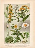 Magyar növények 52, litográfia 1903, színes nyomat, virág, százszorszép, aranyvirág, köllőrojt (3)