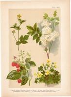 Magyar növények 33, litográfia 1903, színes nyomat, virág szeder, pimpó, bajnócza, gyömbérgyökér (3)