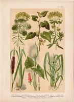 Magyar növények 57, litográfia 1903, színes nyomat, virág, farkas-alma, kontyvirág, gyékény (3)