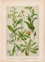 Magyar növények 50, litográfia 1903, színes nyomat, virág, pitypang, csorbóka, mérges saláta (3)
