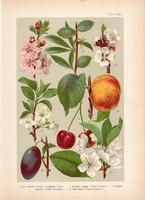 Magyar növények 30, litográfia 1903, színes nyomat, virág, meggy, szilva, kajszibarack, mandula (3)