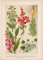Magyar növények 41, litográfia 1903, színes nyomat, virág, gyujtovány, pintyő, gyűszűvirág (3)