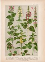 Magyar növények 38, litográfia 1903, színes nyomat, virág, árvacsalán, tisztesfű, pesztercze (3)