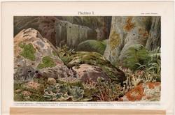Zúzmó, színes nyomat 1903, német nyelvű, eredeti, litográfia, korall, erdő, fa, moha, kő, régi