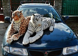 Óriás méretű 2 db. Plüss tigris,(168cm!). Újnak mondható, féláron! Hibátlan!