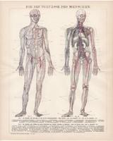 Az ember érrendszer, litográfia 1893, német, színes nyomat, anatómia, ér, gyógyászat, orvos, régi
