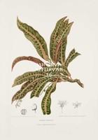 Vintage antik botanikai illusztráció - Kroton, Codiaeum variegatum. Kitűnő minőségű reprint nyomat