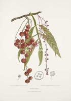 Vintage antik botanikai illusztráció - Lepisanthes alata. Kitűnő minőségű reprint nyomat