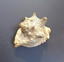 Nagyobb tengeri csigaház