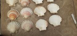 Osztrigás kagylók 12 darab