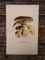 Barna gyűrűstinóru és Eperízű tinóru lithográfia, nyomat, GOMBA