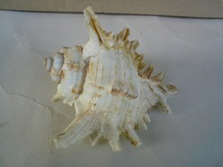 Csigák, kagylók - Tengeri csiga 8 cm X 7 cm X 5 cm