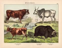 Szarvasmarha, zebu, pézsmatulok, litográfia 1886, német, eredeti, 32 x 41 cm, nagy méret, patások