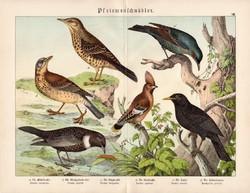 Fekete rigó, léprigó, fenyőrigó, csonttollú, litográfia 1886, eredeti, 32 x 41 cm, nagy méret, madár