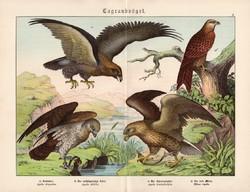 Sas, kígyászölyv, vörös kánya, litográfia 1886, eredeti, 32 x 41 cm, nagy méret, ragadozó madár