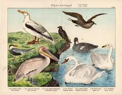 Hattyú, pelikán, albatrosz, viharfecske, litográfia 1886, eredeti, 32 x 41 cm, nagy méret, madár