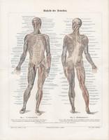 Az ember izomzata (2), litográfia 1896, színes nyomat, eredeti, anatómia, gyógyászat, izom, német