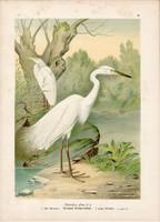 Nagy kócsag, litográfia 1897, eredeti, 29x40 cm, nagy méret, madár, Európa, színes nyomat, herodias