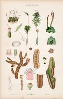 Moha, borzhínár, májmoha és páfrányfa, vízipáfrány, litográfia 1885, eredeti, 26 x 42 cm, nagy méret
