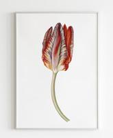 Tulipán, akvarell,16x36cm