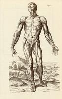 Az ember izomzata 1., anatómia, izom, test, egyszín nyomat 1978, 28 x 44 cm, nagy méret, fakszimile