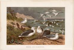 Sirály, litográfia 1894, színes nyomat, eredeti, német, Brehm, állat, madár, ezüst, folyó, Európa