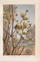 Méhek, litográfia 1894, színes nyomat, eredeti, német, Brehm, állat, méh, beporzás, tavasz, virág