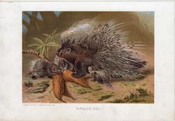 Tarajos sül, litográfia 1907, színes nyomat, eredeti, magyar, Brehm, állat, rágcsáló, Európa, Afrika