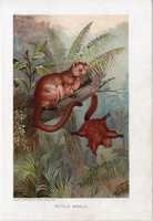 Repülő mókus, litográfia 1907, színes nyomat, eredeti, magyar, Brehm, állat, ragadozó, ,Ázsia
