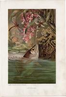 Lövőhal, litográfia 1907, színes nyomat, eredeti, magyar, Brehm, állat, hal, Jáva, brakkvíz